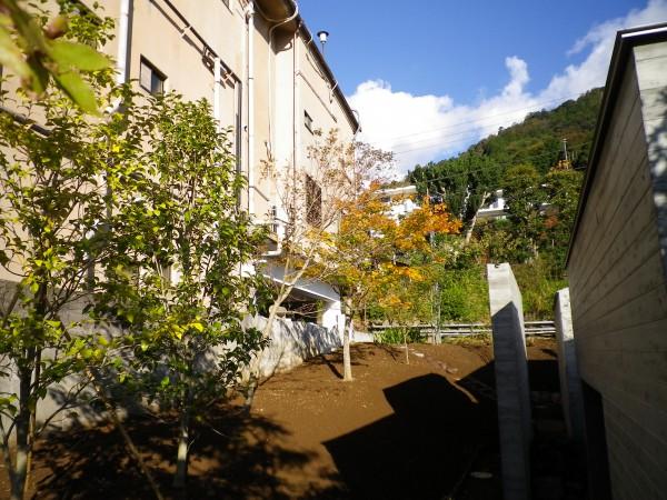西側植栽 黄葉オオモミジ