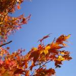 赤いモミジと青い空